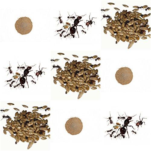 AntHouse Vollständiges Ersatz-Kit für Sand-Ameisenfarm - Ameisen mit Königin Free