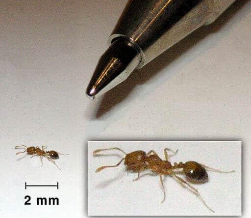ameisenarten-pharaoameisen