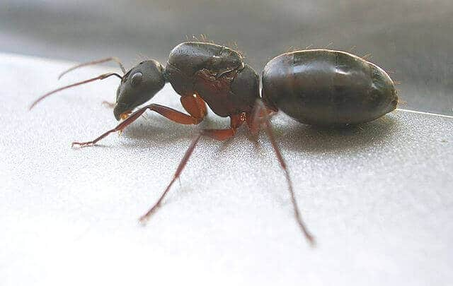 ameisenk nigin aussehen und aufgaben im ameisenstaat. Black Bedroom Furniture Sets. Home Design Ideas
