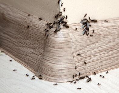 ameisen in der wohnung diese mittel helfen ameisen ratgeber. Black Bedroom Furniture Sets. Home Design Ideas