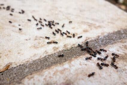 Hausmittel gegen Ameisen die wirklich helfen! - Ameisen Ratgeber