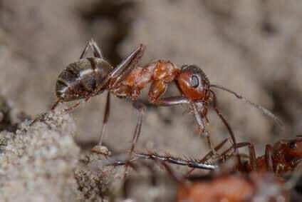 waldameisen formica rufa