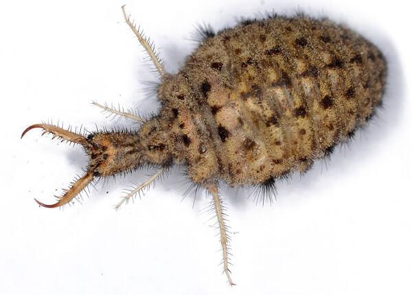 ameisenl we die larve der ameisenjungfer ameisen ratgeber. Black Bedroom Furniture Sets. Home Design Ideas