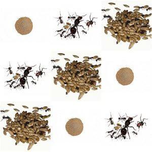 verschiedene ameisenarten kaufen
