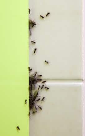 ameisen in der k che ursachen und hilfe gegen den ameisenbefall. Black Bedroom Furniture Sets. Home Design Ideas