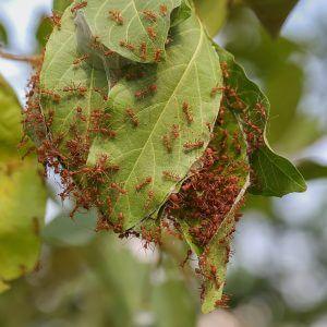ameisennest der oecophylla smaragdina