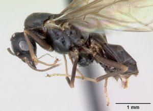 braune wegameise lasius brunneus mit fluegeln