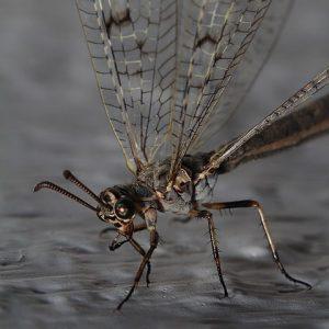 Geflecktflüglige Ameisenjungfer (Euroleon Nostras)
