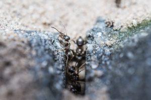 ameisen im mauerwerk in der hauswand