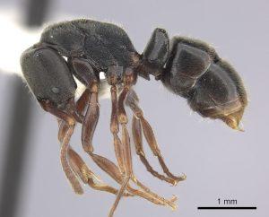 Urameisen Austroponera Rufonigra