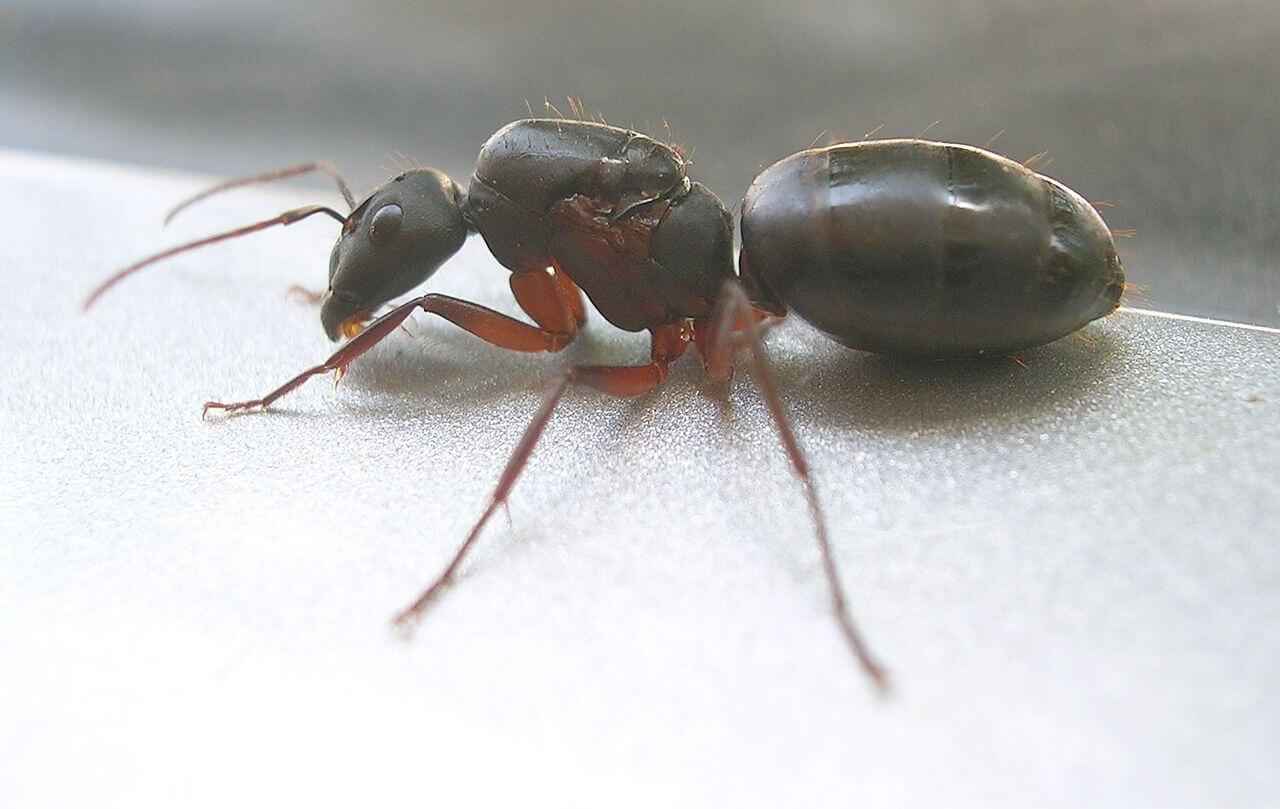 Ameisenkönigin die ihre Flügel abgeworfen hat