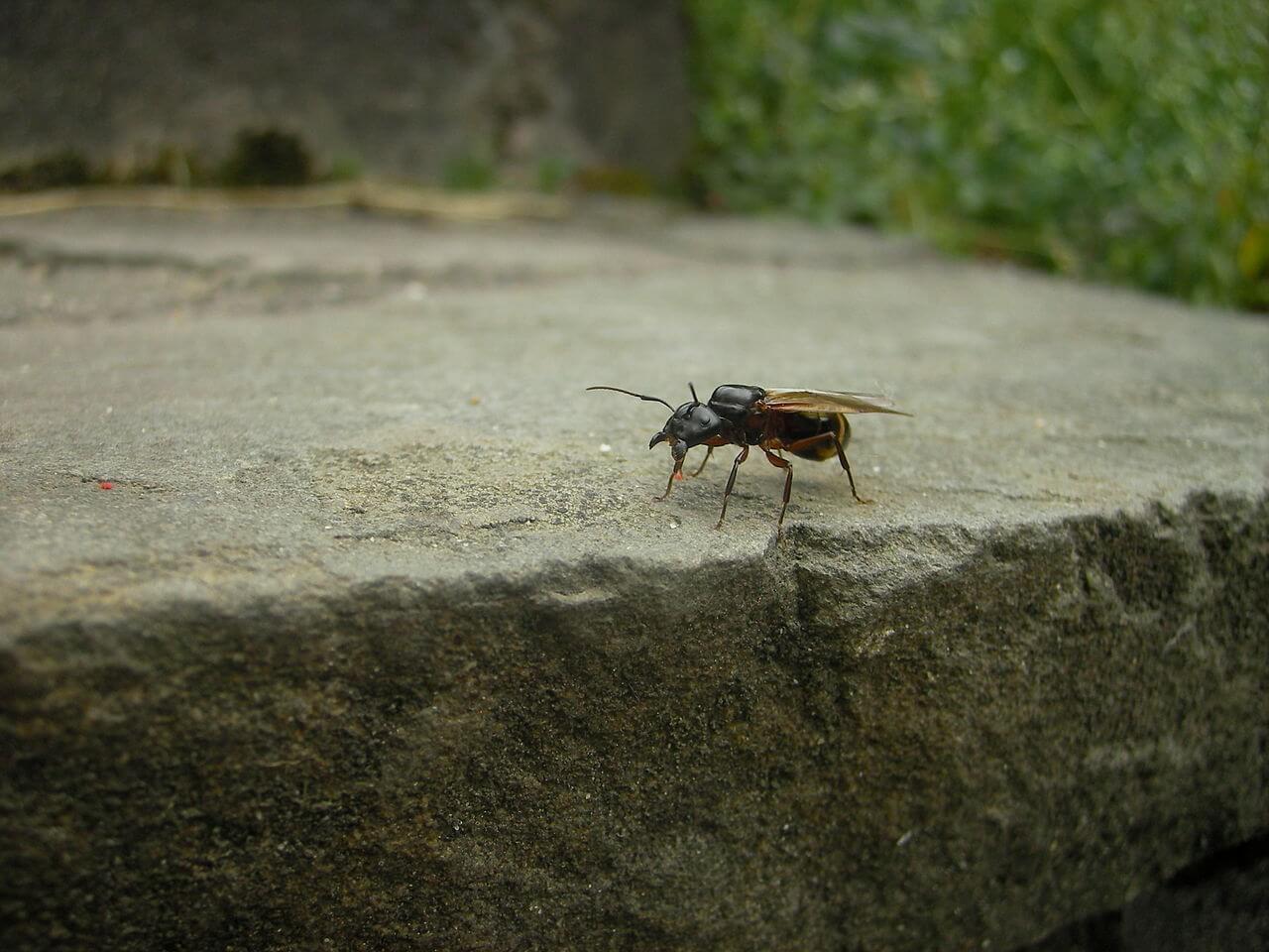 Geflügelte Ameisenkönigin der Roten Rossameise