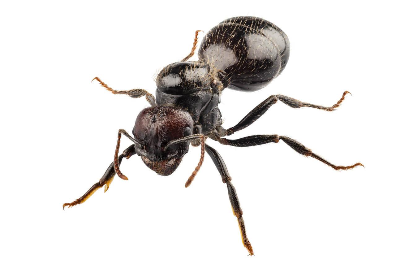 Schwarze Wegameise Lasius Niger Makroaufnahme