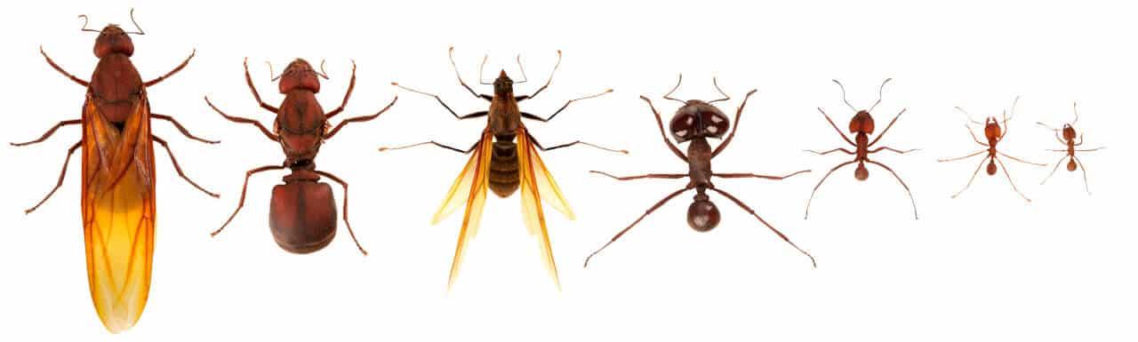 Ameisenkönigin und Ameisenfamilie nach Hierarchie